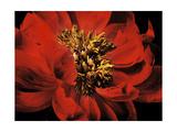 Red Peony II Premium Giclee Print by Christine Zalewski