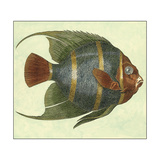 Small Angel Fish I Premium Giclee Print by  Vision Studio
