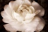 Elegant Ranunculus II Giclée-Premiumdruck von Christine Zalewski