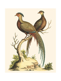 Small Regal Pheasants II Prints by George Edwards