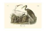 Ibis blanc Reproduction procédé giclée par John James Audubon