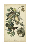 Audubon Wood Duck Posters by John James Audubon