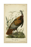 Audubon Wild Turkey Poster by John James Audubon