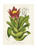Tropical Bromeliad II Poster by  Van Houtteano