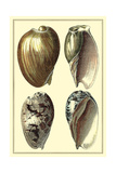 Classic Shells I Posters by Denis Diderot