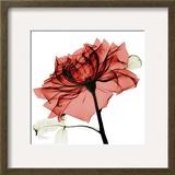 赤い薔薇 ポスター : アルバート・クーツィール