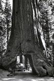 Road through Redwood Tree Archival Photo Poster Photo