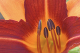 Close Up of a Day Lily Flower Photographic Print by Ira Meyer