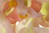 Begonia Flower Blossoms Photographic Print by Robert Llewellyn