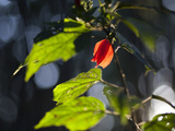 Sunlight on Malvaviscus Arboreus, a Hibiscus Plant Photographic Print by Alex Saberi