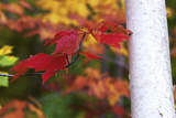 Red Sugar Maple Leaves, Acer Saccharum, Next to a White Birch Tree Trunk, Betula Papyrifera Photographic Print by Ira Meyer