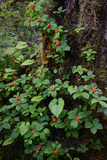 Bunchberries in the Rain Forest Near Petersburg Photographic Print by Michael Melford