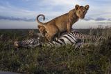 Cubs of the Simba East pride eat a zebra hunted by adult females. Photographic Print by Michael Nichols