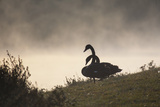 Two Black Swans Wait by the Lakeside on a Misty Morning Photographic Print by Alex Saberi
