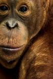 A Captive Orangutan at the Borneo Orangutan Survival Center in Nyaru Menteng Fotografisk tryk af Mattias Klum