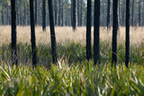Longleaf Pine Flatwoods, Pinus Palustris, Palmetto Plants and Wire Grass Photographic Print by Carlton Ward