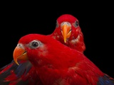 A Pair of Red Lories, Eos Bornea, at the Indianapolis Zoo Photographic Print by Joel Sartore