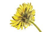 A Dandelion Flower Photographic Print by Robert Llewellyn