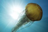 Portrait of a Sea Nettle Jellyfish, Chrysaora Species, in Sunlit Blue Water Photographic Print by Jeff Wildermuth