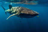 A Juvenile Golden Trevally Swims Ahead of a Feeding Whale Shark Photographic Print by Jason Edwards