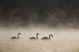 Three Blacks Swans Glide over Ibirapeura Park Lake on a Misty Morning Photographic Print by Alex Saberi