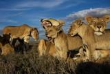 Older Cubs are Raised Together as a Creche, or Nursery Group Fotografisk tryk af Michael Nichols