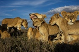 Older Cubs are Raised Together as a Creche, or Nursery Group Photographic Print by Michael Nichols