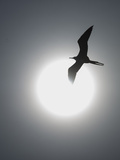 A Magnificent Frigatebird in Flight over Isla Iguana Reproduction photographique par Michael Melford