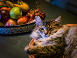 A Pet Domestic Cat, Felis Catus, Resting in a Basket Near a Bowl of Fresh Fruit Photographic Print by Babak Tafreshi