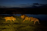 Vumbi Females, Stressed and Fiercely Protective of their Young, Get Cross an Adult Male Photographic Print by Michael Nichols