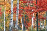 Sugar Maple, Acer Saccharum, and White Birch Trees, Betula Papyrifera, in Brilliant Autumn Hues Fotografie-Druck von Ira Meyer