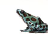 A Morph of a Black and Green Poison Dart Frog, Dendrobates Auratus Photographic Print by Joel Sartore