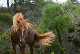 A Wild Pony Stands Among the Shrubs on Assateague Island Photographic Print by Vickie Lewis