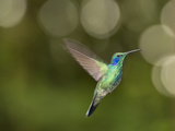 A Green Violet Ear Hummingbird, Colibri Thalassinus, in Flight Photographic Print by Michael Melford