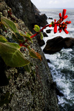 Red Flowers on Granite Cliffs Above the Atlantic Ocean in Serra Da Tiririca State Park Photographic Print by Mattias Klum