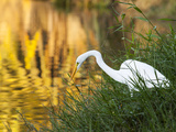 A Great Egret Fishing in Ibirapuera Park at Sunset Photographic Print by Alex Saberi