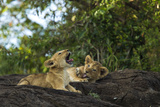 Two Lion Cubs, Panthera Leo, Resting on a Large Boulder. One Cub Is Yawning Photographic Print by Beverly Joubert