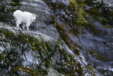 A Mountain Goat Stands on a Cliff Looking with Surprise at the Camera Photographic Print by Michael Melford