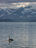 An Orca Near Point Adolphus in Glacier Bay Photographic Print by Michael Melford