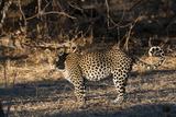 Portrait of a Leopard, Panthera Pardus Photographic Print by Sergio Pitamitz