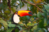 A Toco Toucan Perches in a Tree Near Iguazu Falls at Sunset Photographic Print by Alex Saberi