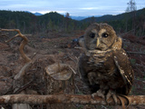 A Federally Threatened Northern Spotted Owl in a Fresh Clear Cut Photographic Print by Joel Sartore