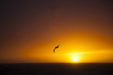 A Wandering Albatross at Sunset Near Elephant Island, Scotia Sea, Antarctica Photographie par Michael Melford