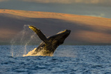 A Humpback Whale Breaches in the Pacific Ocean Fotografisk tryk af Ralph Lee Hopkins