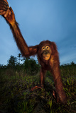 An Orangutan with Keeper in a Peat Swamp at the Borneo Orangutan Survival Center Photographic Print by Mattias Klum