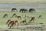 Impalas, Aepyceros Melampus, and Common Zebras, Equus Quagga, Grazing Photographic Print by Sergio Pitamitz