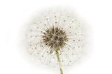 Dandelion Seeds Fotografisk tryk af Robert Llewellyn