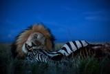 An Adult Male Lion, C-Boy, Feasts on a Zebra Fotografisk tryk af Michael Nichols