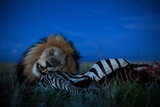 An Adult Male Lion, C-Boy, Feasts on a Zebra Photographic Print by Michael Nichols