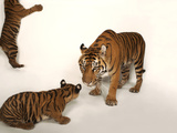 A Critically Endangered Sumatran Tiger and Her Two, Five-Month-Old Cubs at Zoo Atlanta Photographic Print by Joel Sartore